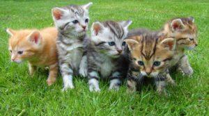 Het Gezinsleven - Lifestyle - Hobby's - Help ik wil een kat kopen! Wat nu? - 5 kittens op een rij